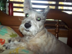 Buddy--all ears and heart