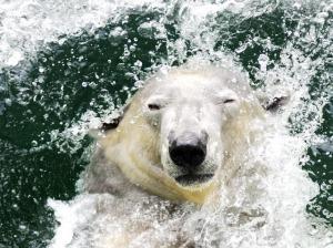 PolarBearSwim11 (2)
